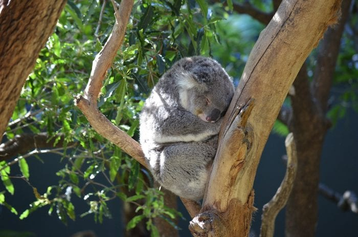 Koala sleeping in tree | things to do in Sydney with kids
